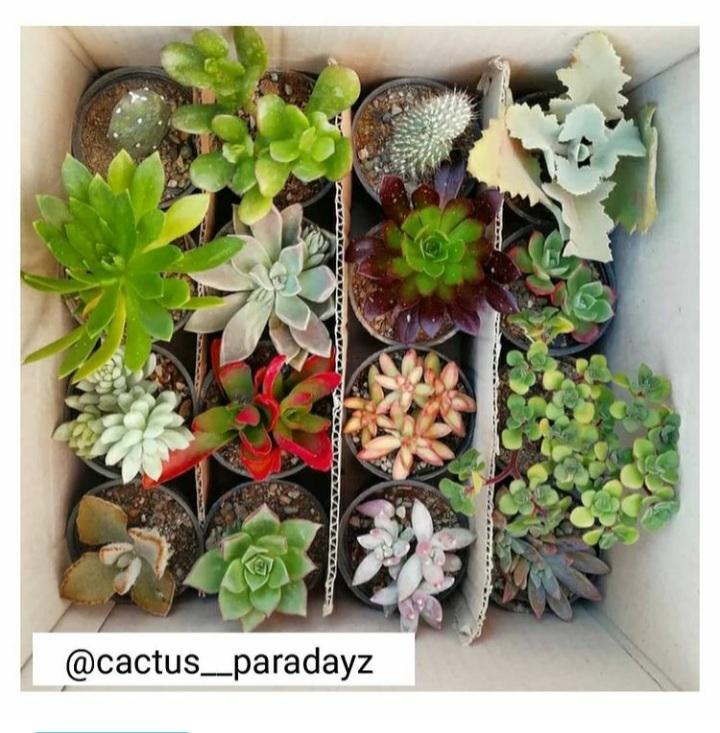 cactus__paradayz